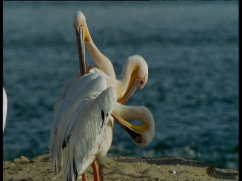 Three pelicans preening, stand in line with each other