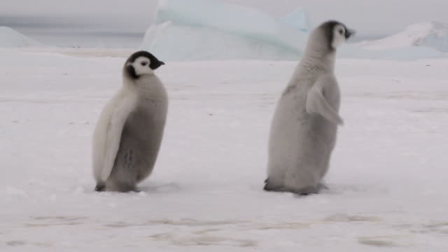 three penguin chicks - penguin stock videos & royalty-free footage