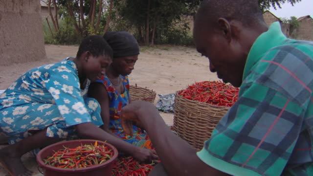 vídeos y material grabado en eventos de stock de ms three people sorting pile of harvested chili peppers outdoors, tamale, ghana - mujer con grupo de hombres