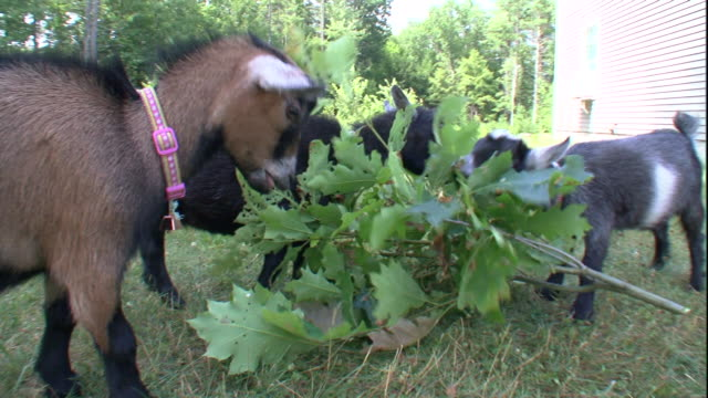 three pet pygmy goats nibble on leaves. - collar stock videos & royalty-free footage