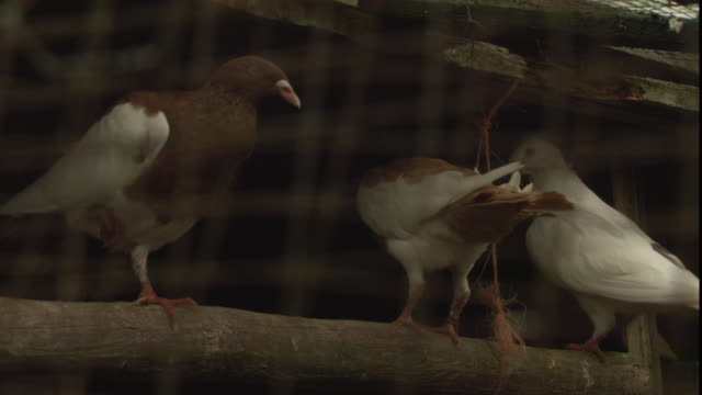 three pigeons perch on a branch. - oxfordshire stock videos & royalty-free footage