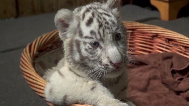 stockvideo's en b-roll-footage met three playful white bengal tiger cubs are charming visitors as they clamber around their enclosure at a zoo in china - omsloten ruimte