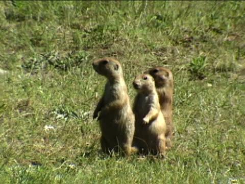 Three prairie dogs