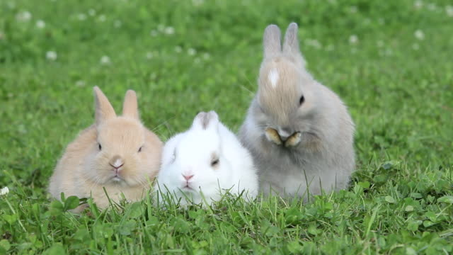 Three rabbits sitting on grass, one cleaning itself