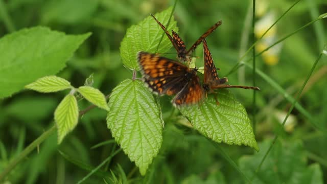 three rare displaying heath fritillary butterfly, melitaea athalia, perching on a bramble bush in a woodland clearing. - small group of animals stock videos & royalty-free footage