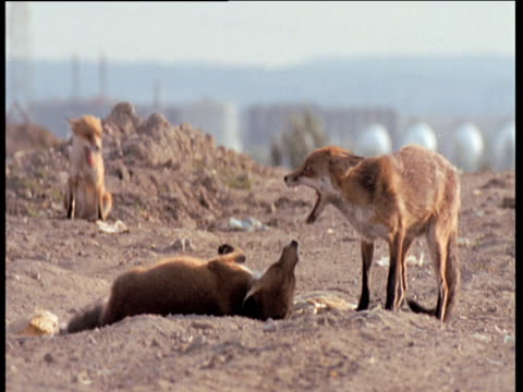 Three Red foxes aggressively interact and play fight with each other on waste dump