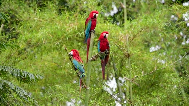 three red-and-green macaws perched in bamboo - wildlife stock videos & royalty-free footage