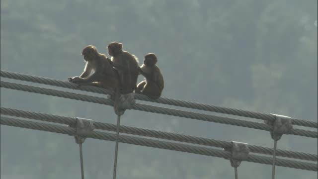 vídeos y material grabado en eventos de stock de three rhesus macaques sit grooming on bridge cable, rishikesh, india available in hd. - acicalarse