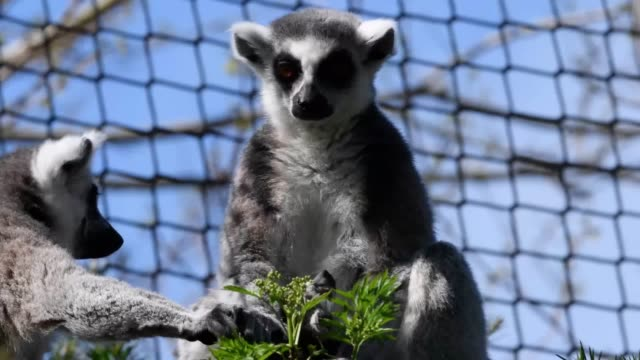Three ringtailed lemurs have been born at Bristol Zoo within days of each other Twins were born to mother Ethel and less than 72 hours later another...