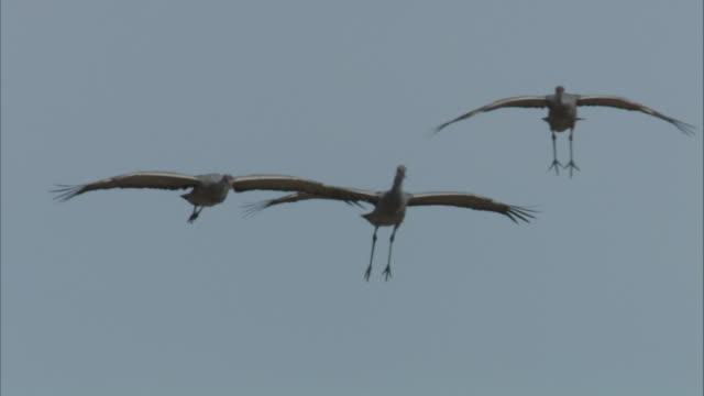 Three Sandhill cranes in flight