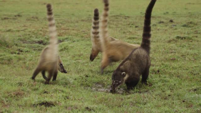 three sandy coloured coatis (nasua nasua) drinking from pool depart as darker coloured individual turns up. - south america stock videos & royalty-free footage