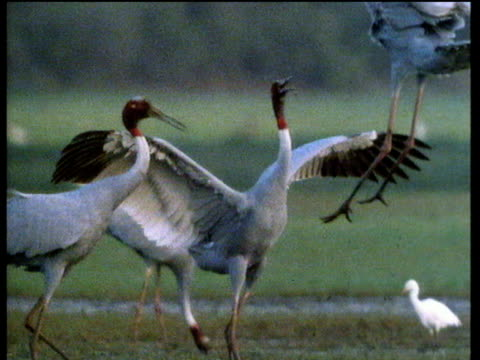 three sarus cranes jump up and down flapping wings in courtship display, india - ツル点の映像素材/bロール