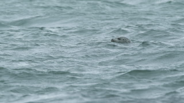 three seal heads above water, mcneil river game range, alaska, 2011 - seal pup stock videos & royalty-free footage