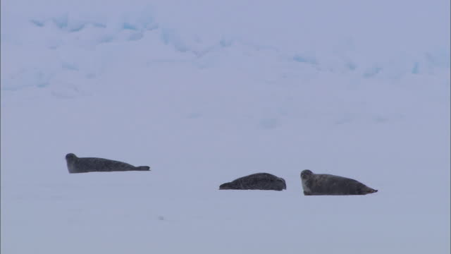 vídeos de stock, filmes e b-roll de three seals lying on the snow-covered ground in the north pole - cabeça para trás