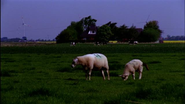 long shot three sheep graze with cows, wind turbine and farmhouse in background, north frisia, schleswig-holstein, germany - domestic animals点の映像素材/bロール