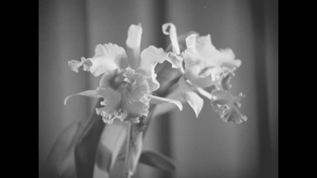 three sisters holding their prize-winning flowers while posing for photo opportunity / three close ups of flowers / lily pons standing next to... - pons stock videos & royalty-free footage