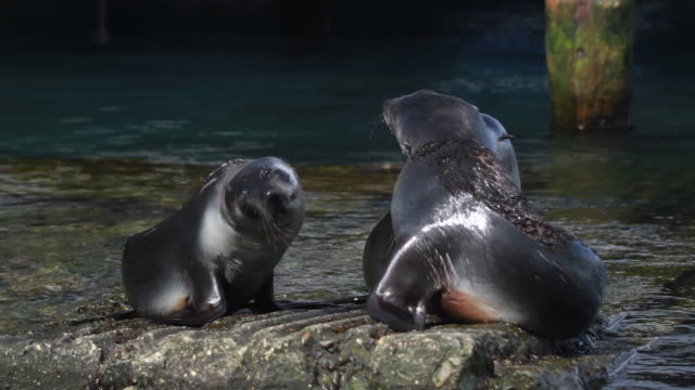 ws three southern elephant seal pups on a rock, grytviken, south georgia and the south sandwich islands - südlicher seeelefant stock-videos und b-roll-filmmaterial