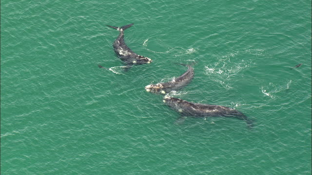 ms ha three southern wright whales surfacing in ocean, cape of good hope, western cape, south africa - surfacing stock videos & royalty-free footage