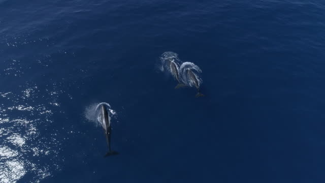Three sperm whales swim fast in blue ocean