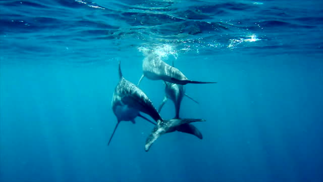 three spinner dolphins - drei tiere stock-videos und b-roll-filmmaterial