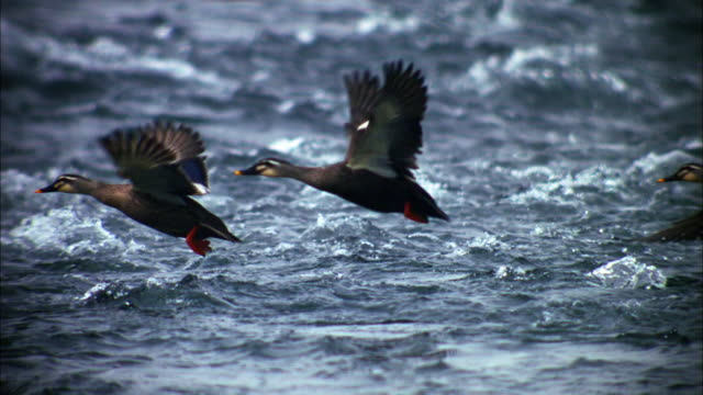stockvideo's en b-roll-footage met three spot-billed ducks flying off from the lake - eend watervogel