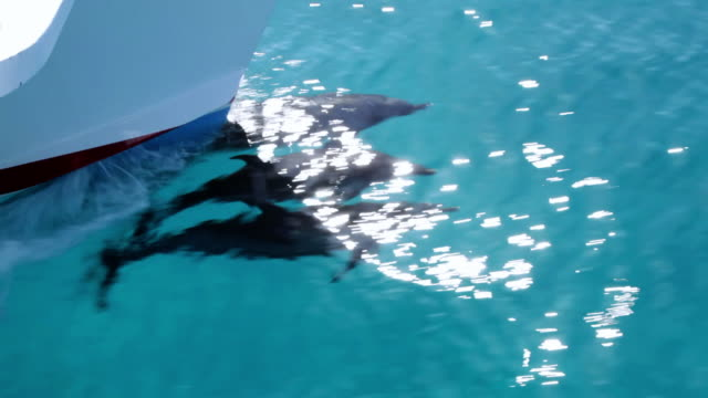 ms ts ds three spotted dolphin swimming front of boat   / at sea, at sea, bahamas - spotted dolphin stock videos and b-roll footage