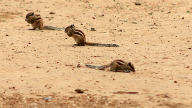 three squirrels in the park - chipmunk stock videos & royalty-free footage