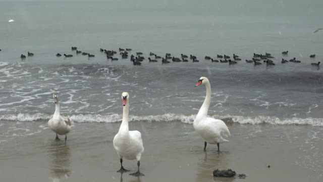 three swans stepping out of the sea during a cold winter day - bulgarien stock-videos und b-roll-filmmaterial