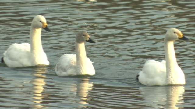 three swans swimming across lake, nagano, japan - cigno video stock e b–roll