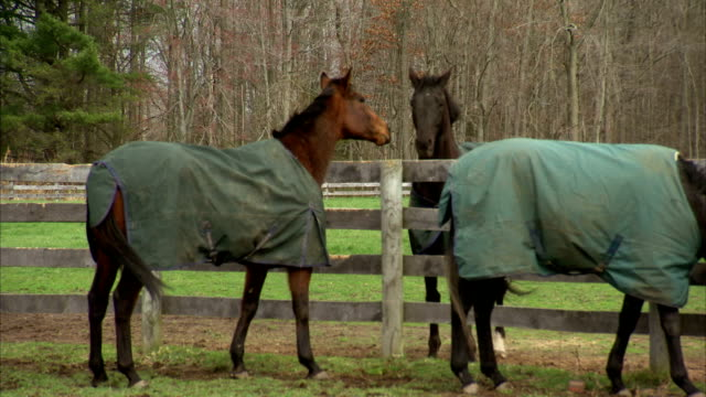 HD WS Three thoroughbred horses wearing blankets in two dividing paddocks standing by paddock fencing sorrel brown touching faces over fence...