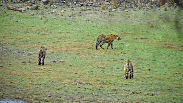 vidéos et rushes de three tiger siblings running and playing near the lakeshore - animaux à l'état sauvage