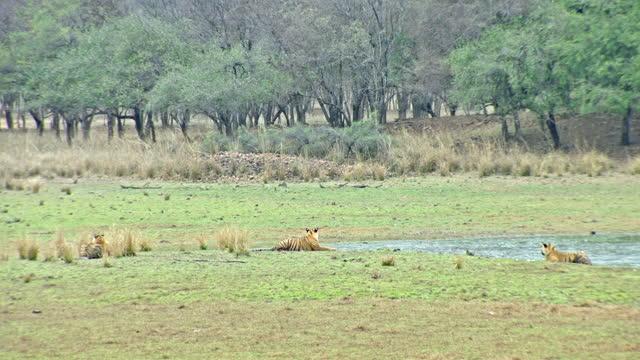 stockvideo's en b-roll-footage met three tiger siblings soaked in the rain near lakeshore - watervorm