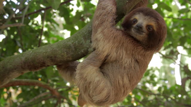 three toed sloth climbing a tree - costa rica stock videos & royalty-free footage