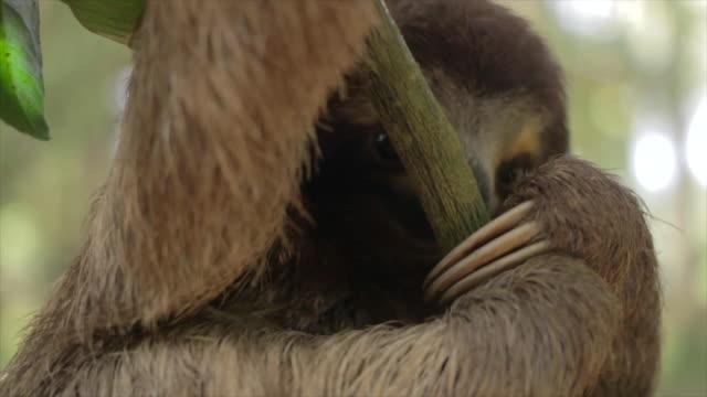 Three Toed Sloth Climbing