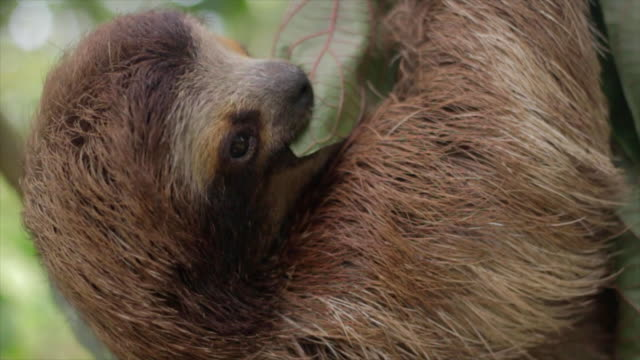 vidéos et rushes de three toed sloth eating a leaf - one animal