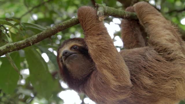 three toed sloth in a tree - hängen stock-videos und b-roll-filmmaterial