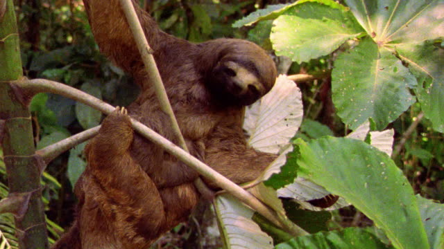 ms three toed sloth mother + baby sitting in tree branches / tambopata, peru - två djur bildbanksvideor och videomaterial från bakom kulisserna
