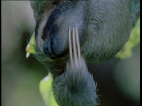 three toed sloth scratches its face in the canopy, brazil - farynx stock videos and b-roll footage