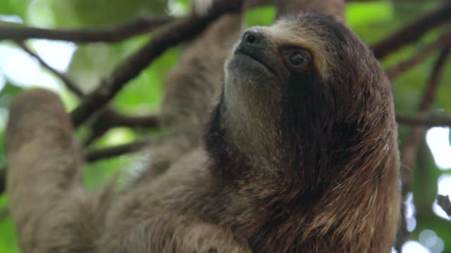 Three Toed Sloth Scratches Stomach