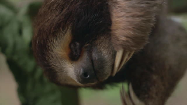 three toed sloth scratching face upside down - upside down stock videos & royalty-free footage