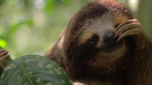 vídeos de stock e filmes b-roll de three toed sloth scratching face - preguiça conceito
