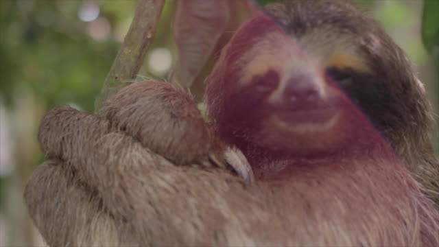 vidéos et rushes de three toed sloth sleeping with sun flare - one animal