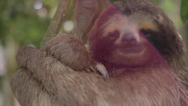 vídeos de stock e filmes b-roll de three toed sloth sleeping with sun flare - preguiça conceito