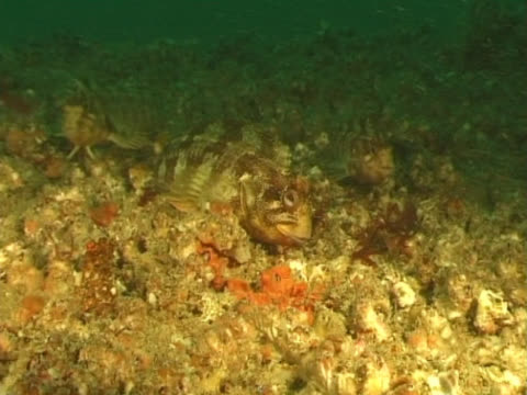 ws three tompot blennies feeding on barnacles. channel island, uk - tompot blenny stock videos and b-roll footage