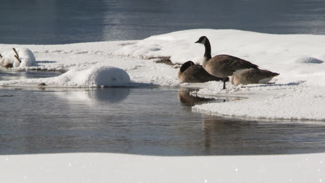 ms three trumpeter swan on snowy edge of river / yellowstone national park, wyoming, united states - goose stock videos & royalty-free footage