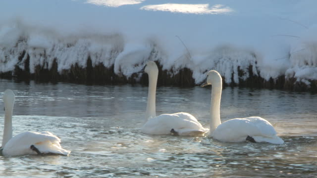 MS TS Three trumpeter swans swimming in river / Yellowstone National Park, Wyoming, United States