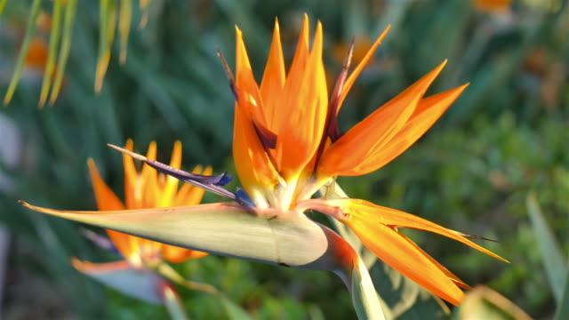 three videos of bird of paradise flower in 4k - bird of paradise plant stock videos & royalty-free footage