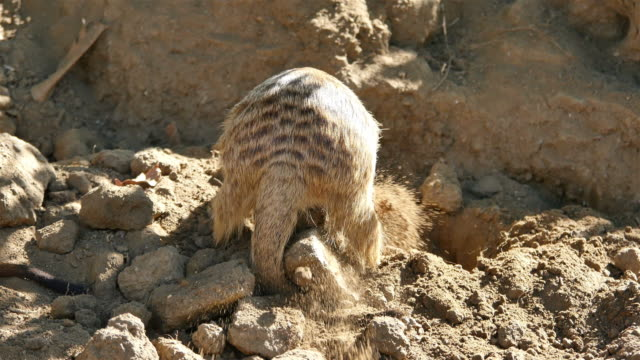 Three videos of meerkat in 4K