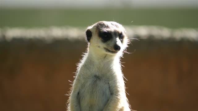 Three videos of meerkat in 4K