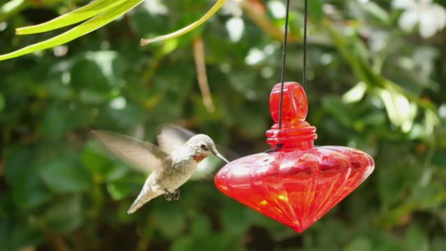 three videos of real humming bird in 4k - hummingbird stock videos and b-roll footage